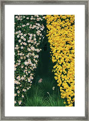 Chrysanthemum Curtains Framed Print by Jessica Jenney