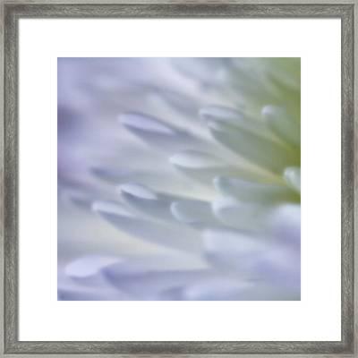 Chrysanthemum Framed Print by Frank Fullard