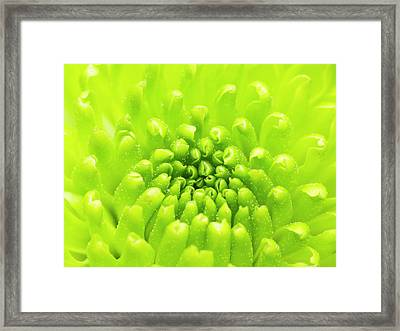 Chrysanthemum Macro Framed Print by Wim Lanclus