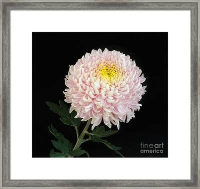 Chrysanthemum 'otome Pink' Framed Print