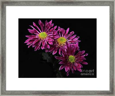 Chrysanthemum 'saba' Framed Print