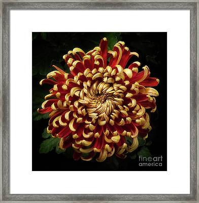 Chrysanthemum 'st Tropez' Framed Print