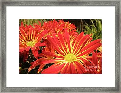 Framed Print featuring the photograph Chrysanthemums by Christine Amstutz