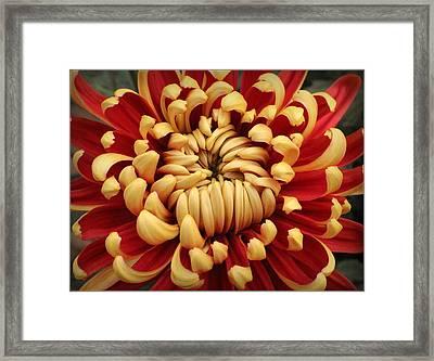 Chrysanthemum In Full Bloom Framed Print