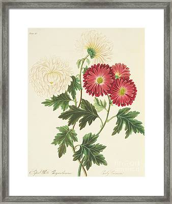 Chrysanthemums Framed Print by Margaret Roscoe