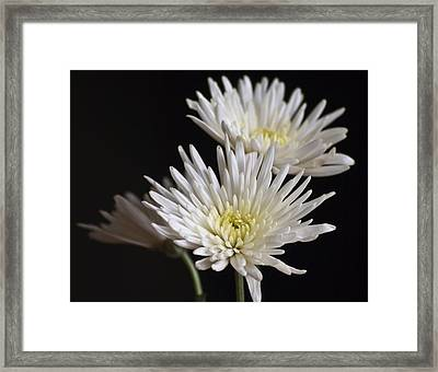 Chrysanthemums Framed Print by Svetlana Sewell