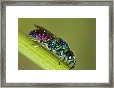 Chrysidid Wasp Framed Print by Andre Goncalves