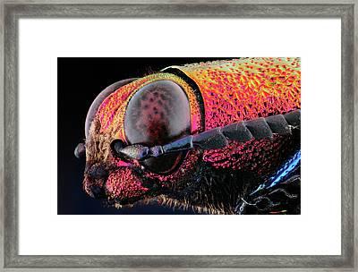 Chrysochroa Buquety Rugicollis Framed Print by Gianfranco Merati