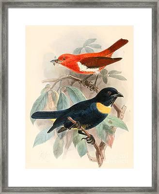 Chrysothlypis Salmoni , Bangsia Rothschildi Framed Print