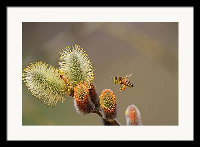 Bee In Flight Framed Prints