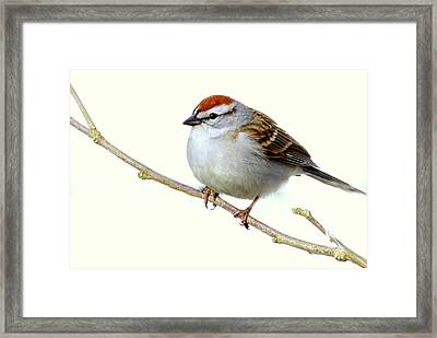 Chubby Sparrow Framed Print