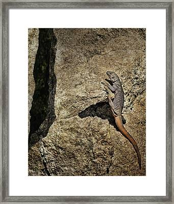 Chuckwalla - Crevice Framed Print by Nikolyn McDonald