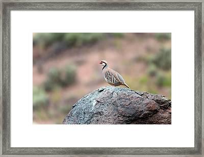 Chukar Partridge 2 Framed Print by Leland D Howard