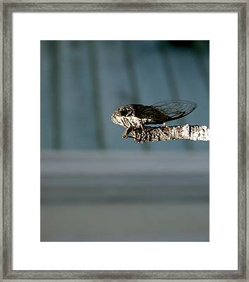 Cicada Framed Print by Cathy Harper