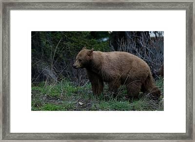 Cinnamon Bear Framed Print by Clinton Nelson