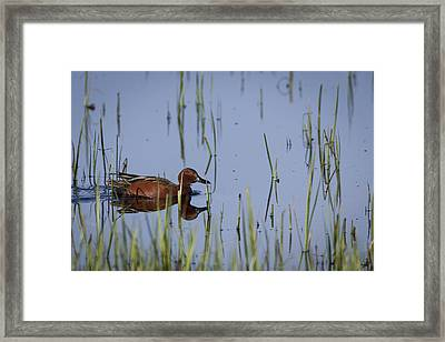 Cinnamon Teal Adult Male Framed Print