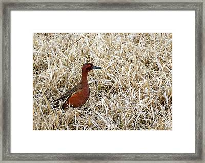 Cinnamon Teal Framed Print