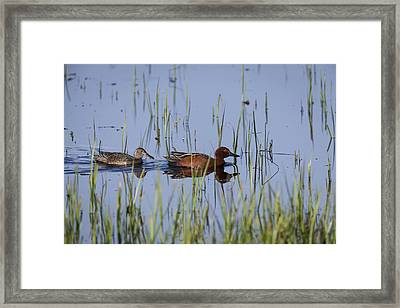 Cinnamon Teal Pair Framed Print