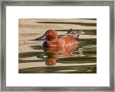 Cinnamon Teal Framed Print by Thomas Kaestner