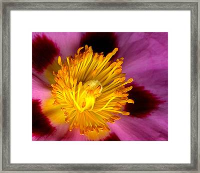 Cistus Radiation Framed Print