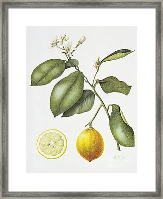 Citrus Bergamot Framed Print
