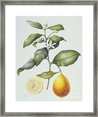 Citrus Lemon Framed Print by Margaret Ann Eden