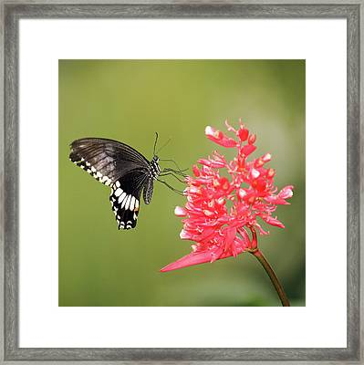 Framed Print featuring the photograph Citrus Swallowtail by Grant Glendinning