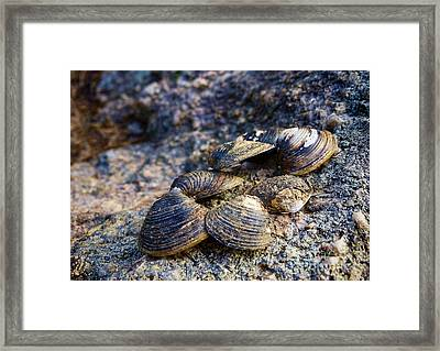 Clam Shells Framed Print by Melissa Messick