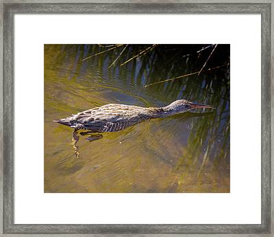 Clapper Rail Swimming Framed Print