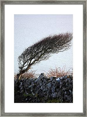 Clare Coast Tree Framed Print by Tom  Doherty