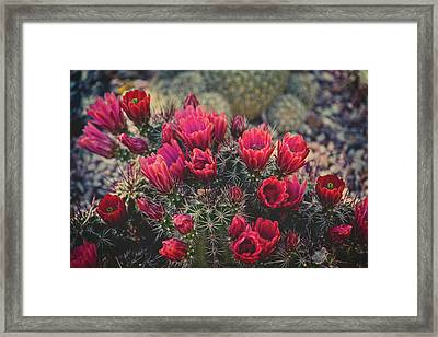 Claret Cup Blooms Framed Print by Lucinda Walter