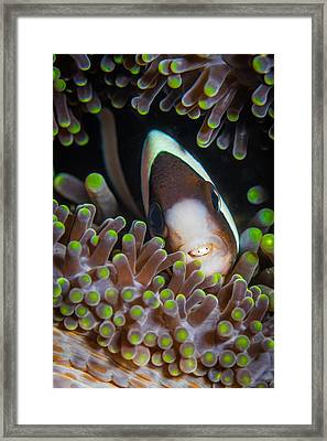 Clarks Anemone Fish Framed Print