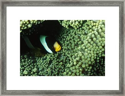 Clarks Anemonefish, Amphiprion Clarkii Framed Print by James Forte