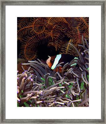 Clark's Anemonefish, Indonesia 2 Framed Print