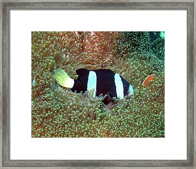 Clark's Anemonefish, Indonesia Framed Print