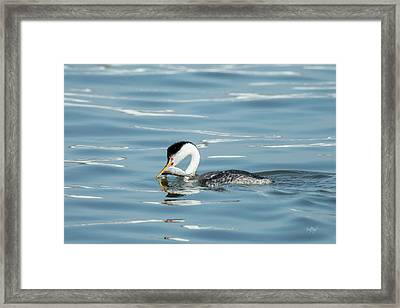 Framed Print featuring the photograph Clarks Grebe by Everet Regal