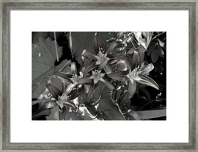 Classic Daylily Framed Print