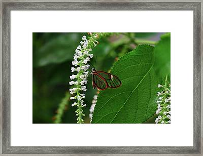Clearwing Butterfly Framed Print