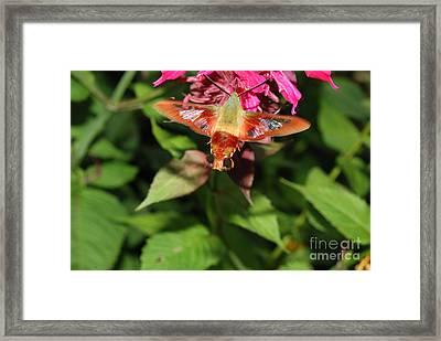 Clearwing Moth At Bee Balm Framed Print by John Kaprielian