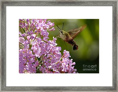 Clearwing Pink Framed Print by Randy Bodkins