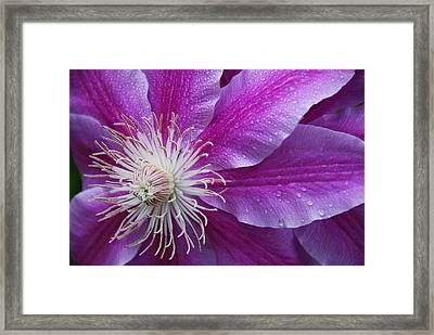 Clematis 101 Framed Print by William Thomas
