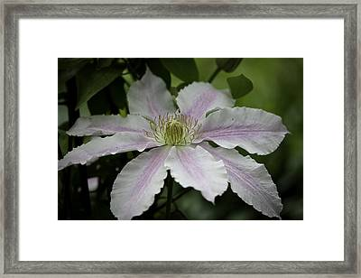 Clematis Blossom Framed Print by Teresa Mucha