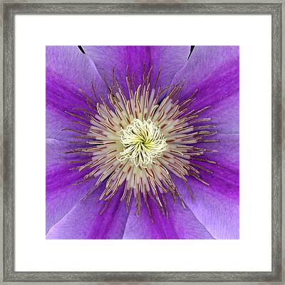 Clematis Framed Print by Christopher Gruver
