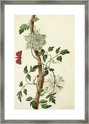 Clematis Florida With Butterfly And Caterpillar Framed Print by Matilda Conyers
