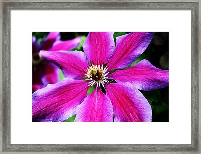 Clematis Flower Framed Print by Cathie Tyler