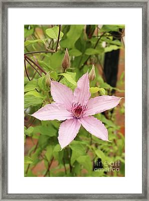 Clematis Hagley Hybrid #2 Framed Print