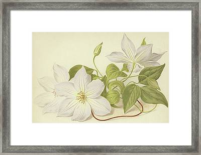 Clematis Jackmanni Alba Framed Print by English School