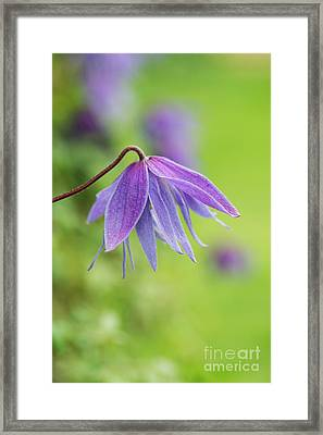 Framed Print featuring the photograph Clematis Lagoon Flower by Tim Gainey