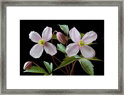 Framed Print featuring the photograph Clematis Montana Rubens by Terence Davis