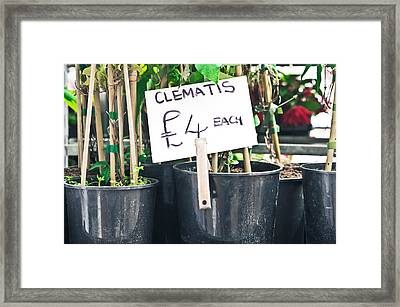 Clematis Plants Framed Print by Tom Gowanlock